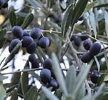 Olio Evo - Fattoria Castello di Monteriggioni